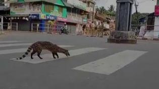 Une civette dans les rues en Inde, en période de confinement. (FRANCE 2)