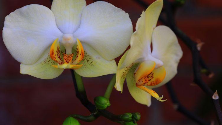 Les orchidées ou sabots de Vénus (DOUGLAS SACHA / MOMENT OPEN / GETTY IMAGES)