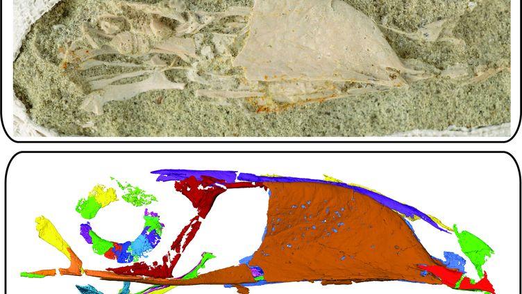 Photographie et scanner du Falcatakelyforsterae fossilisé dévoilépar l'université de l'Ohio le 25 novembre 2020 (BEN SIEGEL / OHIO UNIVERSITY)