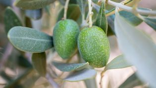 Des olives sur un olivier de Marrakech (Maroc) le 19 juillet 2012. (SONNET SYLVAIN / HEMIS.FR / AFP)