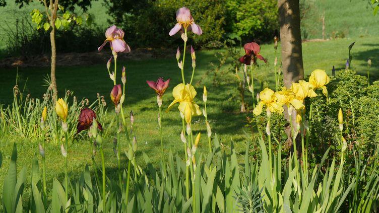 Oui, les iris peuvent entrer en cuisine. Il faut faire sécher les racines, les réduire en poudre. Une saveur subtile à ajouter à de la crème pour faire une glace. (ISABELLE MORAND / RADIO FRANCE / FRANCE INFO)