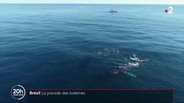 Brésil : quand les baleines font la parade