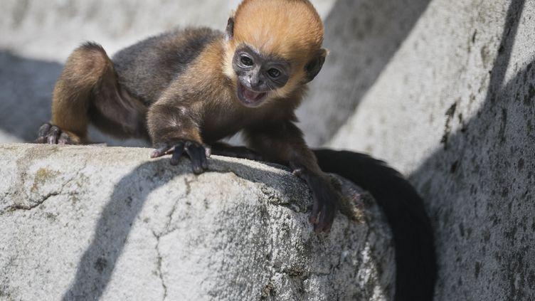 Seuls 29 parcs zoologiques (dont8en Europe) abrite desLangurs de François, dont il ne subsisterait que 2 000 individus dans la nature, et 133 dans les zoos. (SEBASTIEN BOZON / AFP)