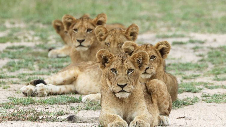 Lionceaux dans une réserve de la province deMpumalanga (est de l'Afrique du Sud). Photo prise le 12 avril 2019. (REUTERS - SIPHIWE SIBEKO / X90069)