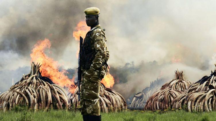 Pour lutter contre le trafic d'ivoire, le Kenya a brûlé des tonnes d'or blanc. (CARL DE SOUZA / AFP)