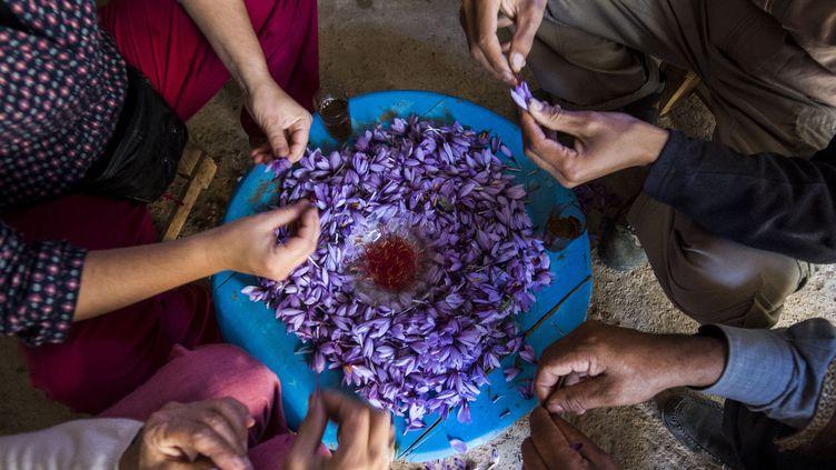 Des travailleuses agricoles s'emploient dès l'aube à ramasser à la main les petites fleurs qu'elles posent minutieusement dans des paniers.Séchés et triés, les stigmates du pistil du crocus donnent un safran qui serait l'un des meilleurs au monde. (FADEL SENNA / AFP)