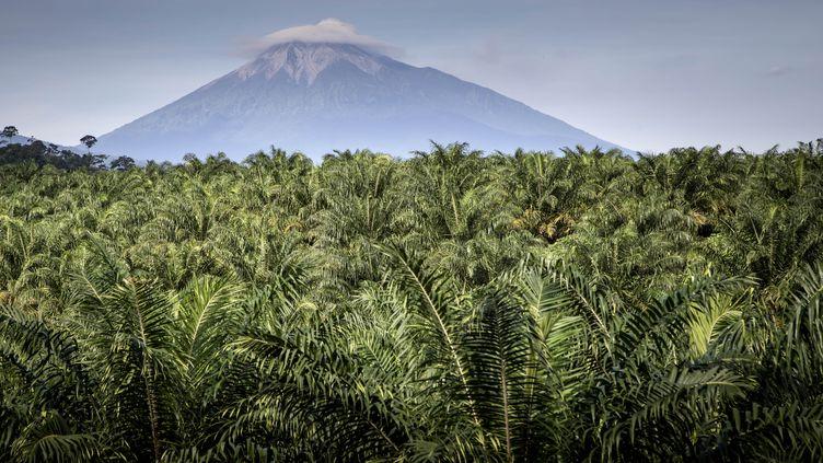 Une plantation de palmiers à huile dans la province de Sumatra occidental, en Indonésie, le 4 septembre 2016. (DONAL HUSNI / NURPHOTO / AFP)
