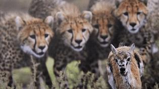 La gazelle poursuivie par une meute de guépards  (Grégoire Bouguereau / Veolia Wildlife photographer of the year)