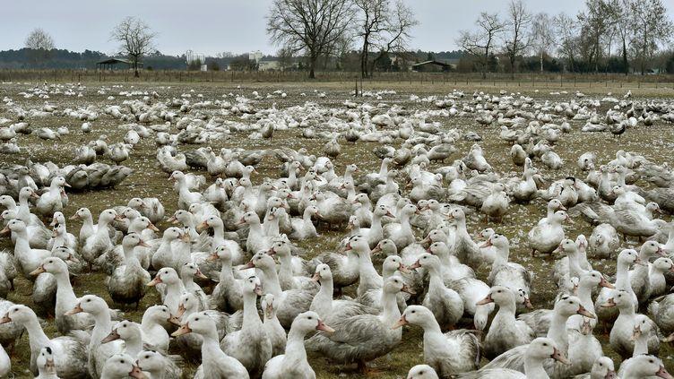 Plus de 10 000 canards issus de deux exploitations du Gers ont été abattus au nom du principe de précaution, lundi 5 février. (GEORGES GOBET / AFP)