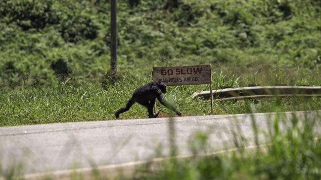 (Chimpanzé traversant une route © MNHN - Jean-Michel Krief)