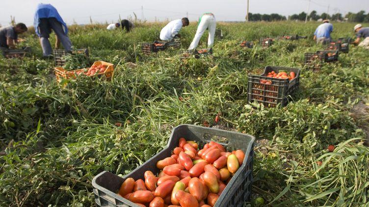Dans un champ de tomates près de Foggia (sud de l'Italie) (REUTERS/Tony Gentile)
