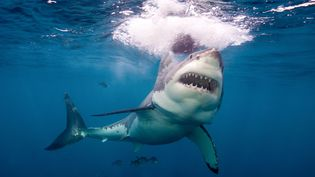 Grand requin blanc. (IMAGE SOURCE/AFP)