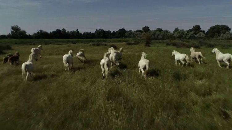 Quand la France se révèle être une terre de grands espaces, pas besoin d'aller aux États-Unis pour vivre la vie de cow-boy. Direction la Camargue, à cheval entre les Bouches-du-Rhône et le Gard. (FRANCE 2)