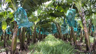 Une bananeraie à Capesterre Belle-Eau, en Guadeloupe, le 10 avril 2018. (HELENE VALENZUELA / AFP)