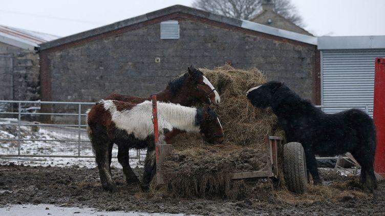 Elevage de chevaux près de l'abattoire dePeter Boddy,dans le West Yorkshire (Royaume Uni), le 13 février 2013. (PHIL NOBLE / REUTERS)