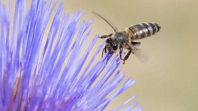 Les abeilles pollinisent 71 des 100 espèces cultivées, fournissant 90% des denrées alimentaires mondiales, selon l'ONU. (STEPHANE VITZTHUM / BIOSPHOTO / AFP)