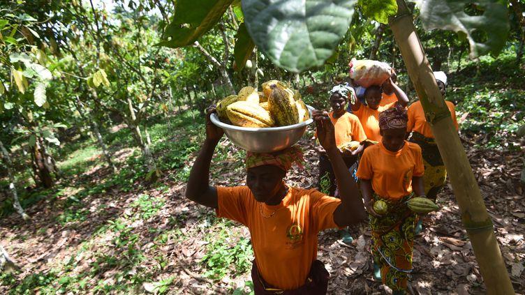 Les producteurs de la coopérative de Yakasse-Attobrou en Côte d'Ivoire bénéficient d'un label éco-responsable. (SIA KAMBOU / AFP)