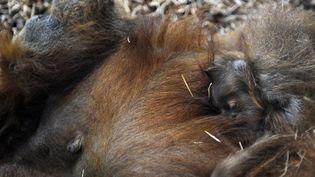 Un petit orang-outan se repose sur le ventre de sa mère, le 20 juillet 2012, au zoo d'Amnéville (Moselle). (JEAN-CHRISTOPHE VERHAEGEN / AFP)