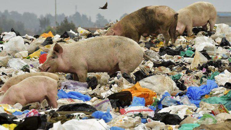 Au Kenya, ces cochons cherchent leur pitance au milieu de sacs en plastique. (SIMON MAINA / AFP )