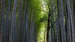 Une plantation de bambous au Japon. (BODY PHILIPPE / HEMIS.FR / HEMIS.FR)
