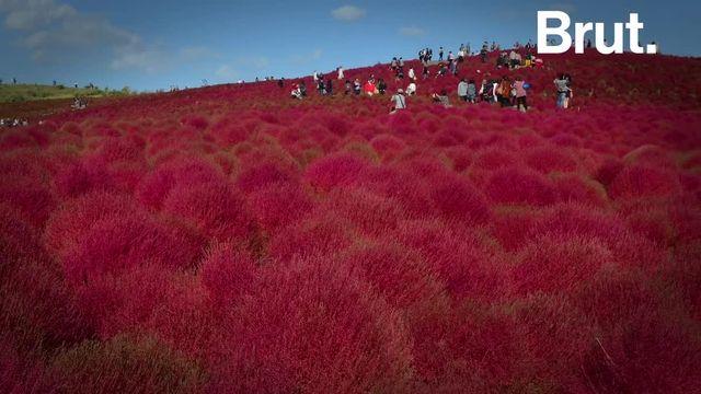 Cet ancien champ de tir dédié à l'US Air Force est devenu l'un des plus beaux parcs du Japon. Buissons rouges, jonquilles, tulipes multicolores… Le décor change au gré des floraisons. C'est la colline de Kochia.