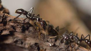 Une fourmi à Paris, le 10 octobre 2013. (Photo d'illustration) (ERIC FEFERBERG / AFP)