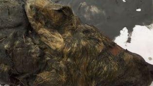 La tête d'un loup qui aurait vécu il y a 40 000 ans en Russie a été retrouvée intacte, préservée dans la glace. L'animal est énorme. (FRANCE 2)