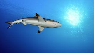 Un requin nage en Polynésie, le 29 mars 2015. (VINCENT TRUCHET / BIOSPHOTO / AFP)