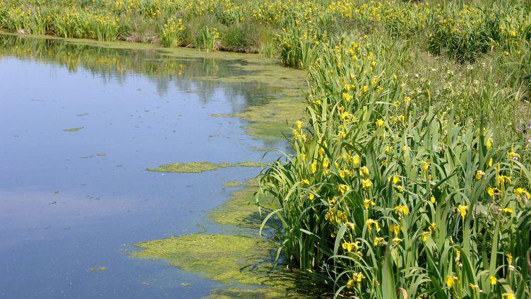 Certaines étendue d'eau permettent de traiter naturellement des eaux grâce au lagunage par des plantes. (MAXPPP)