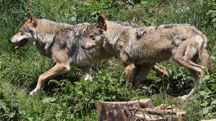 Des loups aperçus dans un parc animalier des Angles (Pyrénées-Orientales), le 18 juin 2015. (RAYMOND ROIG / AFP)