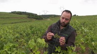 Après le gel, les vignes ont subi un épisode de grêle en Saône-et-Loire, dans le Mâconnais, lundi 21 juin. 10 minutes d'orage sont venues à bout de 50% de la récolte d'un viticulteur. (CAPTURE ECRAN FRANCE 2)
