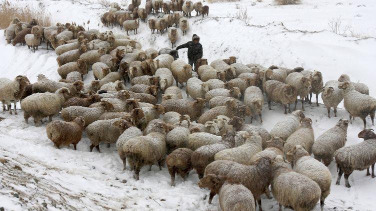 Photo de troupeauxde moutons dans la régionde l'Altay, province du Xinjiang en novembre 2008 (CHINA DAILY / REUTERS)