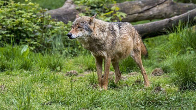 Un loup commun chassant aux abords d'une forêt (photo d'illustration). (MAXPPP)