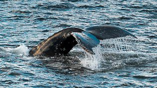 La zone marine autour de l'île de Pâques, dans le sud-est de l'océan Pacifique, abrite des mammifères marins fragiles, comme les baleines bleues et les baleines à bosse. (MAXPPP)