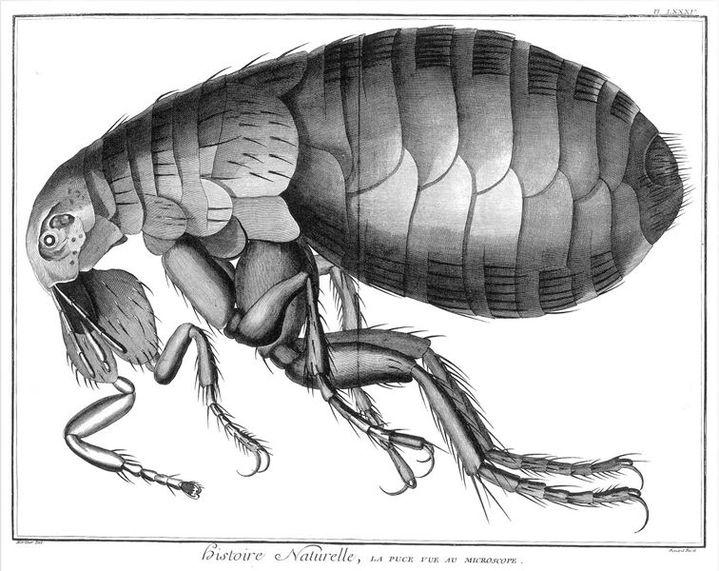 Encyclopédie, tome XXIII, Histoire naturelle, règne animal, planche 85, « La Puce vue au microscope », gravure de Benard d'après un dessin de Martinet